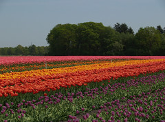 (Geziena) Tags: holland closeup steel nederland natuur olympus mooi e300 tuin bol geel rood veld bollen oranje landschap assen tulpen paars kleur tulp kleuren lisse bollenveld prachtig smilde kleurig bloeien bloembol kloosterveen