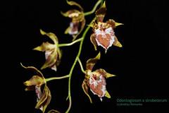 Odontoglossum x strobelorum 6162 (A. Romanko) Tags: odontoglossum hennisii strobelorum