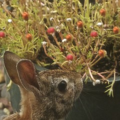 'Deary me.....I seem to get the leftovers...' (Pureheart11) Tags: autumn bunny lastflowers seasonal ngc