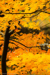 Fall is coming... (dmj.dietrich) Tags: fall foliage trees leaves yellow moody