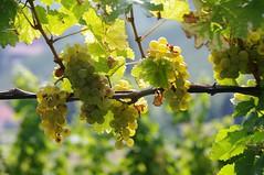 Wo auf und auf die goldne Traube hngt......... ( eulenbilder - berti ) Tags: steiermark sdsteiermark sdsteirischeweinstrase herbst 2016 wein trauben landschaft hgel