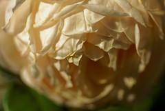 Les couches de ptales - The layers of petals - Explore rank 450 - 28/9/2016 (p.franche lent retour - Come back slowdown) Tags: sony sonyalpha100 objectifminolta minoltalens minolta beercan vintage hdr dxo flickrelite bruxelles brussel brussels belgium belgique belge europe pfranche pascalfranche schaerbeek schaarbeek fleur flower macro ptales petal rose nature bokeh superbokek