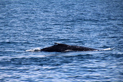 Whale Watching (NTG's pictures) Tags: whalewatchingsydney sydney nsw australia southern pacific ocean humpback whales wildlife