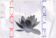 Black Lotus (Bahman Farzad) Tags: black flower macro yoga poster design peace lotus relaxing peaceful meditation therapy lotusflower lotuspetal blacklotus lotuspetals lotusflowerpetals lotusflowerpetal