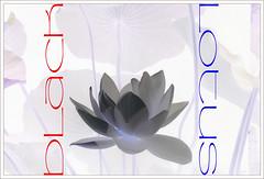 Black Lotus (Bahman Farzad) Tags: black flower macro yoga poster design peace lotus relaxing peaceful meditation therapy lotusflower lotuspetal blacklotus lotuspetals lotusflowerpetals lotusflowerpetal