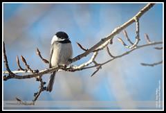 Perching Chickadee at Carburn Park (Sean Phillips) Tags: ca canada calgary bird spring sitting alberta chickadee sit perch perched organic perching carburn carburnpark photobyseanphillips