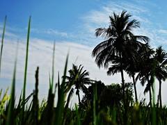 Paddy Field (Kumaravel) Tags: sky india green canon landscape bluesky ixus coconuttree paddyfield kumaravel lushgreen indiaheritage 95is canonixus95is canondigitalixus95is