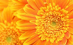 flower background (1337technomage) Tags: summer orange abstract flower macro nature floral beautiful beauty yellow closeup petals spring flora pretty bright vibrant background gerbera daisy bloom botany gerber blooming gerberadaisy