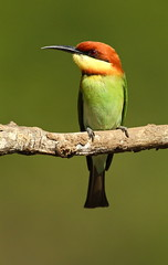Chestnut-headed Bee-eater (ehmatias) Tags: bird nature birds canon wildlife 7d birdwatching avian birdwatcher beeeater wildbirds wonderworld chestnutheadedbeeeater wingedwonders natureplus colorphotoaward paololivornosfriends canonef500mmf4lisusmlens