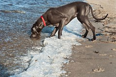 Got the ball , blub blub :) (aenee) Tags: lake cold ice water ball sand meer bal zand ijs koud bluegreatdane aenee xziva blauweduitsedog
