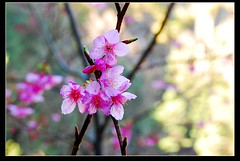 _0031 () Tags: new city travel flower colour colors cherry landscape photography photo flora scenery asia farm year blossoms chinese plum taiwan explore alpine albums sakura taichung formosa            cerasus   wuling campanulata  2011