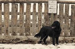 outlaw :: 5/52 (sarah ...) Tags: dog snow sign fence cowboy badass rope kaleb outlaw 552 flatcoatedretriever hogtied 52weeksfordogs