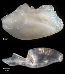 Fat Snook Otolith (FWC Research) Tags: fish florida research otolith