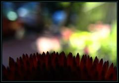 IMG_3510 Night Vision 7-1-10 (arkansas traveler) Tags: flowers echinacea macros macrolicious bokehlicious naturewatcher