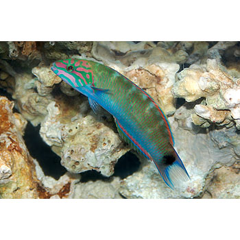 fishlunare wrasse