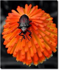 Beetle (Serlunar (tks for 5.6 million views)) Tags: flickr photos beetle fotos premium flickrduel serlunar
