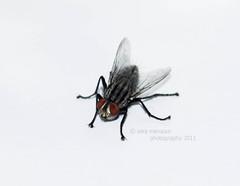 || F l y || (Ṥạřạ Ḿạηṡọя || ❤) Tags: canon fly is nikon sara y f micro l 1855mm efs mansour منصور f3556 حشره ساره سارة ذبابه مايكرو العدسه ذبانه 5000d الاصليه