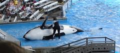 Belly Rub (CetusCetus) Tags: world show sea orlando florida dolphin lion believe orca seaworld 2008 shamu takara killerwhale trainer slideout