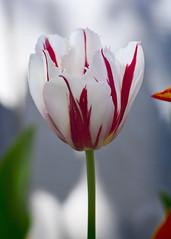 White and Red Tulip (hz536n/George Thomas) Tags: white flower oklahoma spring flora lab bokeh tulip april stillwater 2008 tulipa canon30d labcolor cs5 ef300mmf4lisusm wonderfulworldofflowers topazadjust