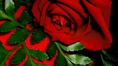 ../3 (harp92) Tags: new flowers red roses white black flower green love nature beautiful beauty rose sara day valentine romance lovers gift saudi arabia romantic date lover saudiarabia وردة ورود ksa valentineday جديد زهرة عيد ورد 2011 الحب حب السعودية أبيض طبيعة أخر المالكي أحمر أسود زهر احبك سعودية زهور flickraward almalki رومنسية عيدالحب flickrunitedaward saraalmalki new2011 جديد2011 سـارآ سـارآالمالكي
