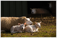 springtime (Don Pedro de Carrion de los Condes !) Tags: spring weide sheep pre lamb wei lam springtime schapen donpedro lammetjes voorjaar lammetje fruhling zonnen