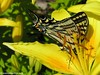 Macro photo of yellow swallowtail butterfly huddled in lily elusive image of my daytime energy companion,  I wait for your arrival between heartbeats.