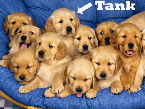 8 week old golden retriever puppy pictures. quot;Tankquot; 8 week old male Golden