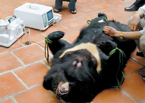 Asian Bear Bile Remedies: Traditional Medicine or Barbarism