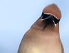 Cedar Waxwing:    :| (mbaglole) Tags: winter bird nikon flash birding sb600 300mm cedar nikkor dickson f4 waxwing cedarwaxwing teleconverter afs 14x d90 nikonsb600 fwr tc14 nikon300mm 14xteleconverter nikon300mmf4 nikond90 nikonteleconverter nikontc14 fwrdickson