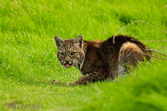 Bobcat encounter in Tennessee Valley (Pat Ulrich) Tags: california animal mammal wildlife attitude bigcat marincounty bobcat wildcat tamron200500 tennesseevalley ggnra lynxrufus goldengatenationalrecreationarea d90 patulrich stickingitstongueout niknod90