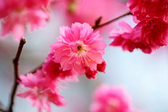 - Cherry  Blossoms - Banana New Paradise - Taichung City (prince470701) Tags: taiwan cherryblossoms   taichungcity banananewparadise sony100macro sonya850