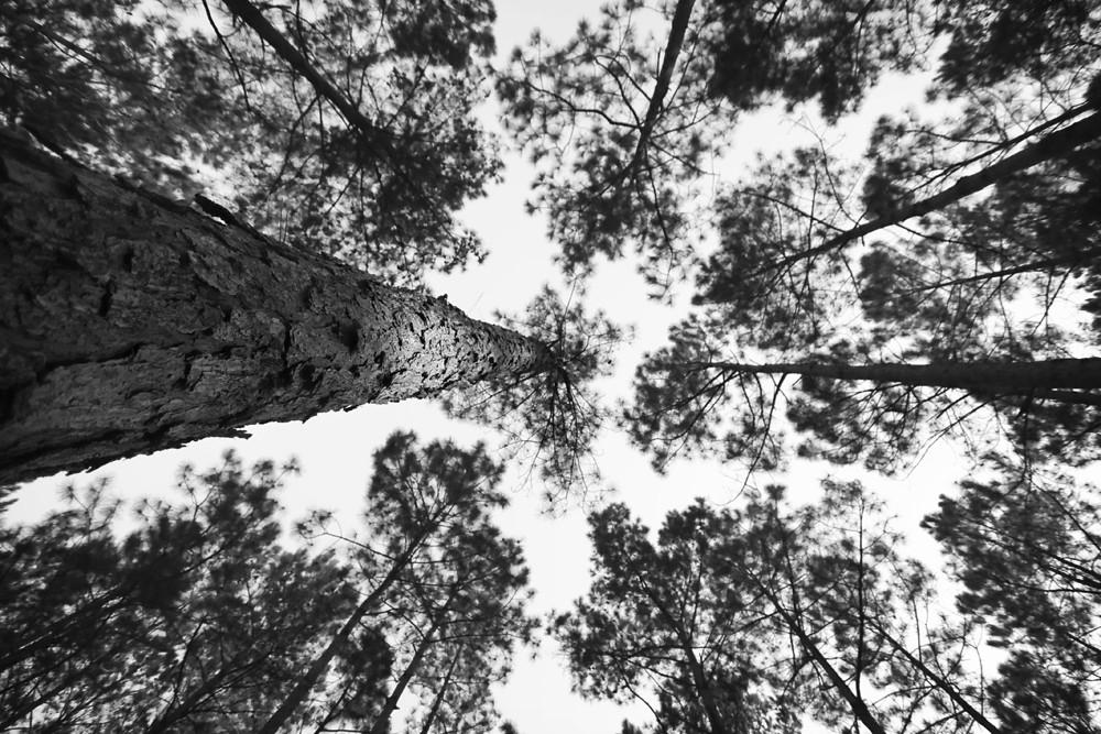 B&W 23/28:  Pines