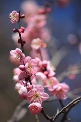 Plenty of Smile, Plenty of Happiness! *explored* (Apricot Cafe) Tags: pink blue flower yellow japan f28 japaneseplum japaneseapricot tokyo東京 prunusmume梅 canonef100mmf28lmacroisusm