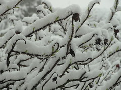 Rose Hedge in the Snow
