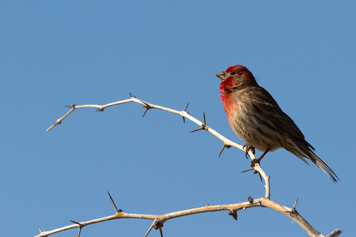 022311_housefinch