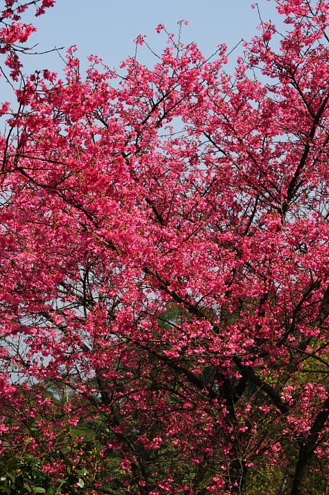 大尖山賞櫻花(聖德宮、天秀宮)036