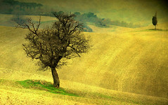 trEEs in thE fiElds (David Butali) Tags: italy tree texture rural italia country campagna tuscany fields siena pienza toscana landascape fleursetpaysages