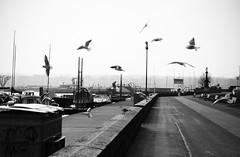 Seagulls (Daisy Oak) Tags: winter seagulls cold port boats freedom blackwhite oak geneva daisy monochromia daisyoak