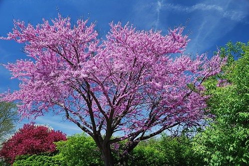 nikon purple blossoms violet jacarandatree downersgrove mikelinden d80 nikond80 michaellinden michaeljlinden n9bdf ellsworthindustrialpark