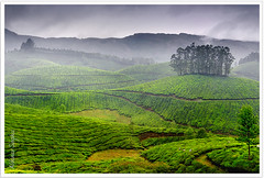 Tea-scape (Abhinav Singhai) Tags: trees vacation india mountain nikon kerala tourist traveller getty greenvalley dri munnar blending godsowncountry incredibleindia gettyvacation teavalley nikon2485mm nikond90 gettyindia