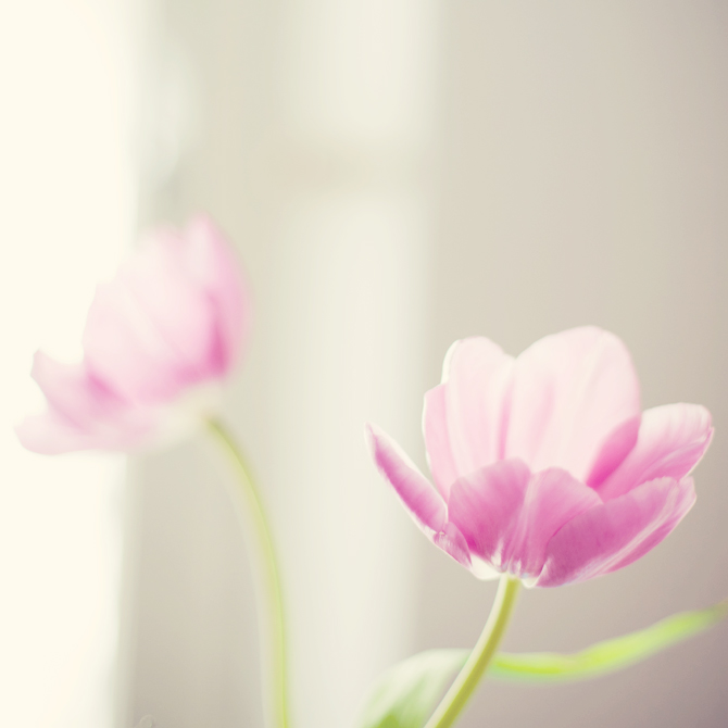 pink tulips and sunlight.