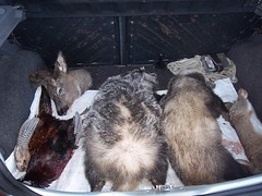 The Day of 7 I (Ms. Graveyard Dirt) Tags: food car feather deer badger ritual roadkill rabbits pheasants