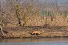 volpe (andrea0250) Tags: nikon natura volpe oasi bentivoglio larizza d300s oasidibentivoglio andrea0250