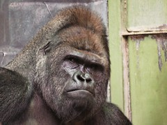Вожак (usachov) Tags: man animals zoo spring gorilla russia moscow think first wise brave leader strength