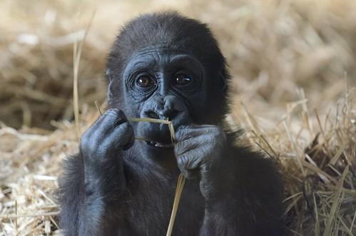 [フリー画像] 動物, 哺乳類, ヒト科, ゴリラ, 201103131100