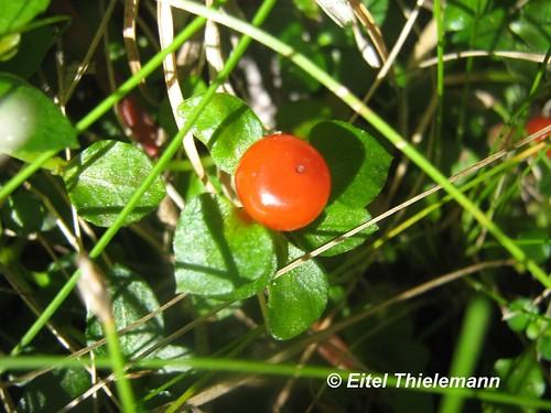 Acercamiento a un fruto maduro de <i>Nertera granadensis</i>.