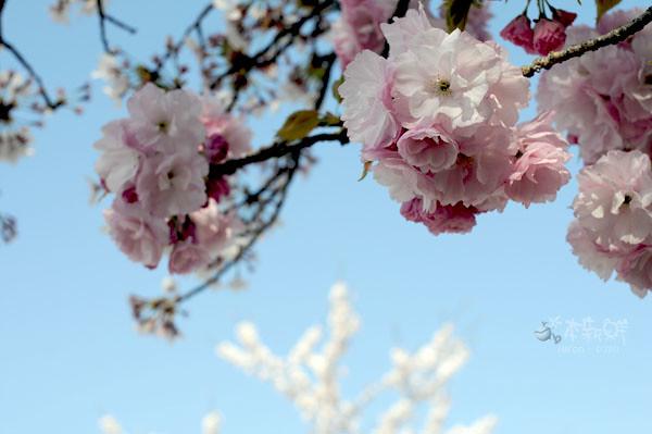 美麗的多重花瓣