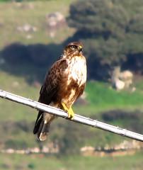 Poiana (giselanto) Tags: sardegna birds fauna sardinia uccelli uccello rapaci floraefaunadellasardegna