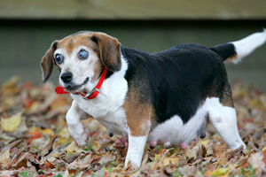 Mabel the beagle rescued from a puppy mill
