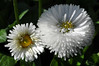 un omaggio agli amici (dediraspi) Tags: bellisperennis flowersarebeautiful excellentsflowers mimamorflores flickrflorescloseupmacros